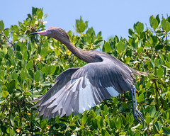Leucistic Reddish Egret Takeoff (dbadair) Tags: outdoor sea nature wildlife 7dm2 7d ii ef100400mm florida bird