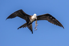 Magnificent Frigatebird Inflight Playing with  a New Toy (dbadair) Tags: outdoor sea nature wildlife 7dm2 7d ii ef100400mm florida bird