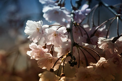 Spring Feeling (jasohill) Tags: viewing spring landscape tohoku nature city iwate light adventure macro cherry hachimantai dark photography life love blossom pink 2019 japan color