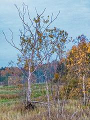 Autumn (raymond_zoller) Tags: baum canonef24105mmf4lisusm canoneos6dmarkii herbst landscape lightroom places russia russland grain landschaft tree пено россия дерево осень пейзаж ხე