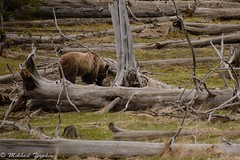 Grizzly, Yellowstone (pacgrove) Tags: animal wildlife bear grizzly