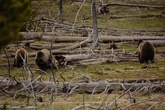 Three grizzly bears, Yellowstone (pacgrove) Tags: animal wildlife bear
