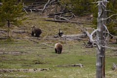 Two grizzlies, Yellowstone (pacgrove) Tags: animal wildlife bear grizzly