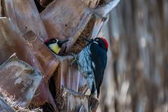 Acorn Woodpeckers (Daren Grilley) Tags: 200500 bird birds woodpecker nikon z6 mirrorless z palm tree