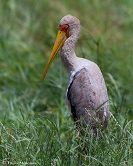 I'm so shy (leendert3) Tags: leonmolenaar wildlife southafrica krugernationalpark nature animal bird yellowbilledstork ngc coth5 npc