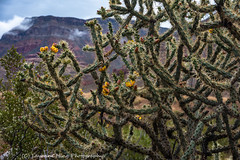 Spring Cactus with Blooms, after the rain (lavonnehing) Tags: beaverdamaz cactusflowers passingrainstorm