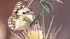 Snacking Marble White (Melanargia galathea) on Purple Starthistle (Centaurea calcitrapa), Iraq Al-Amir, Jordan