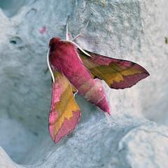 Small Elephant Hawk-moth ... Deilephila porcellus (AndyorDij) Tags: smallelephanthawkmoth deilephilaporcellus lepidoptera insect moth andrewdejardin england empingham empinghammoths rutland uk unitedkingdom nationalmothweek sphingidae