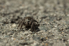 Zebra Jumping Spider (the.mickey.why) Tags: canon 50d canonef100mmf28macrousm jumping spider jumpingspider bug bugs