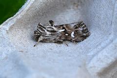 Toadflax Brocade ... Calophasia lunula (AndyorDij) Tags: toadflaxbrocade calophasialunula lepidoptera insect moth andrewdejardin england empingham empinghammoths rutland uk unitedkingdom nationalmothweek noctuidae