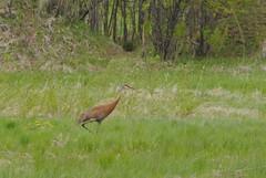Sandhill Crane (Elizabeth Almlie) Tags: minnesota field sandhillcrane crane bird