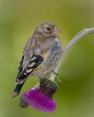 Juvenile Goldfinch (Dec Roche) Tags: goldfinch juvenilegoldfinch birds bird finch flower thistle wildlife gardenbirdphotography nature nikond7000 nikon300mmf4 tc14eii springwatch birdwatch