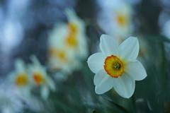 Narcisses (Patrice StG) Tags: narcisses daffodil sony a7ii bokeh printemps spring vintage vintagelens cosinon55mmf21 québec jardin garden boisdecoulonge gimp