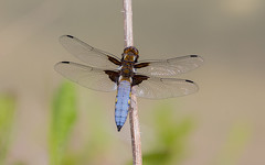 Broad Bodied Chaser (kevinclarke1969) Tags: dragonfly broad bodied chaser