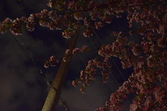 Under the Night Blooms (Bad Alley (Cat)) Tags: sakura cherryblossoms blossoms pink flowers pinkflowers night dark spooky