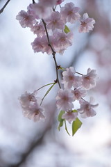 Delicate (I) (Bad Alley (Cat)) Tags: sakura pink flowers blossoms cherryblossoms light white