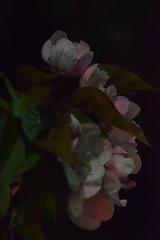 Night Blooms (I) (Bad Alley (Cat)) Tags: sakura cherryblossoms blossoms pink flowers pinkflowers night dark spooky