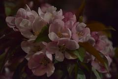 Night Blooms (II) (Bad Alley (Cat)) Tags: sakura cherryblossoms blossoms pink flowers pinkflowers night dark spooky