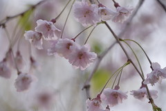 Delicate (II) (Bad Alley (Cat)) Tags: sakura pink flowers blossoms cherryblossoms light white