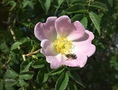 Sonntagsgrüsse - Sunday Sunbath (Sockenhummel) Tags: rose heckenrose blüte hecke biene bee pollinator explore explorer fluidr explored today'sexplore inexplore iphone