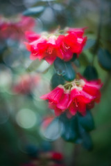 Rhododendron (judy dean) Tags: batsford velvet56 plants lensbaby gardens judydean 2019 arboretum spring rhododendron red bokeh texture ps