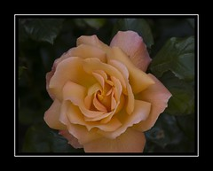 Peach perfection (Audrey A Jackson) Tags: canon60d attinghampark shopshire flower rose nature garden petals colour