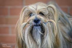 Wookiee II (Tibetan Terrier) (Abariltur) Tags: abariltur castellón spain nikond90 afsnikkor70300f4556gvr perros dogs wookiee chewbacca tibetanterrier inmemoriampetermayhew starwars onda castellódelaplana