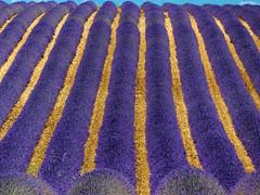 P1120845 (alainazer2) Tags: valensole provence france fiori fleurs flowers fields champs lavande lavanda lavender
