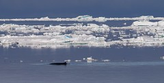 Fin Whale swimming on the surface in front of ice flows (Paul Cottis) Tags: paulcottis 1 february 2019 feb weddellsea ice iceberg antarctica antarcticpeninsula blue reflection calm fin whale cetacean marine mammal