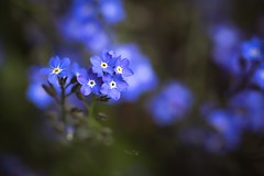 Don't forget me (Melanie Martinu) Tags: beauty don'tforgetme little germany bavaria canon garden dof bokeh purple blossom spring macrophotography macro nature flower vergissmeinnicht