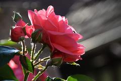 Rose rose (Croc'odile67) Tags: nikon d3300 sigma contemporary 18200dcoshsmc fleurs flowers nature rose