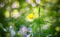 Bokehlicious (Dhina A) Tags: sony a7rii ilce7rm2 a7r2 a7r pentacon av 80mm f28 pentaconav80mmf28 bokeh circle bubble projector projection lens trioplan diaplan manualfocus bokehlicious flower