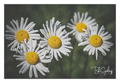 Let's do something unexpected (Bob Geilings) Tags: flower flora yellow macro closeup spring summer daisy garden