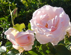 Together we can change the world, just one random act of kindness at a time. (Ron Hall) (boeckli) Tags: flowers pink roses flower flora fleur rosen rose rosa plants plant pflanzen pflanze 014367 rx100m6 garden garten australia newsouthwales outdoor