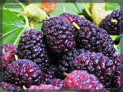 Σκάμνα - Συκάμινα - Μούρα !!! (Spiros Tsoukias) Tags: σκάμνα συκάμινα μούρα σκαμνιά συκαμινιά μουριά δέντρα φρούτα morusnigra μεταξοσκώληκεσ μετάξι καρποί μουρνιά