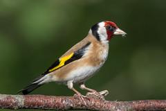 Goldfinch (sean4646) Tags: daisynook d500 perch nikon countrypark spring birds tamron150600 wildlife nature outdoors avian ashtonunderlyne tameside goldfinch