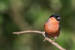 Bullfinch (sean4646) Tags: daisynook d500 perch nikon bullfinch countrypark spring birds tamron150600 wildlife nature outdoors avian ashtonunderlyne tameside