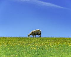 Hillside Sheep (jonsomersphotos) Tags: sheep wildflowers yellowflowers bluesky summer daytime