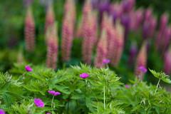 Geranium and lupins (tonybill) Tags: flowers gardens may miscellaneous rhs rhswisley sonya7riii sonyfe85mmf14gm surrey wisley bokeh
