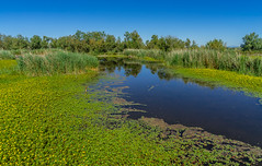 Printemps dans les marais... (capvera) Tags: marais swamp pool spring printemps flowers reflection sun soleil camargue sonyimages dsc05665 scamandre