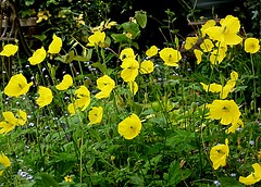 Welsh Poppies - Meconopsis cambrica (Hornbeam Arts) Tags: