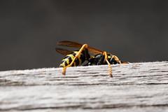 Wespe / wasp (Bernd Götz) Tags: wespe wasp