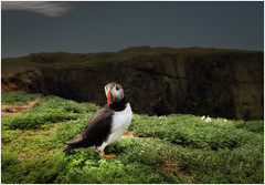 Welcome to Skomer (dickiebirdie68) Tags: puffin bird wildlife skomer wales cliffs environmental grass pose wideangle nature nikon d850