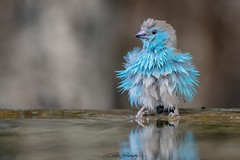 Blue-waxbill-(Uraeginthus-angolensis) (Ed Peeters Photography) Tags: waxbill africa malawi chitimba blue wet edpeetersphotography bird birdphotography