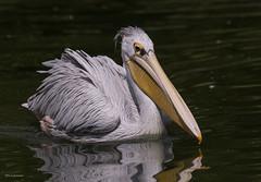 Krauskopf Pelikan (wernerlohmanns) Tags: wasservögel natur nikond750 schärfentiefe sigma150600c pelikane krauskopfpelikan