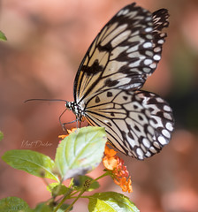 The Beautiful Butterfly (FrozenBlizzard Photography) Tags: butterfly wings insect nature flying fly flower creature littlecreature macrophotography macro 100mmmacrolens frozenblizzard leaf leaves