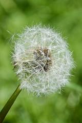 136 Dandelion (Conanetta) Tags: