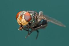 Fly head shot. (Andy @ Pang Ket Vui ( shootx2 )) Tags: fly flies macro photography 105mm nikon d800 extension tube