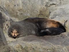 Fur Seal (Maurice Grout) Tags: newzealand northisland wainuiomata furseals newzealandfurseals sealcolony turakiraeheadsealcolony arctocephalusforsteri seal