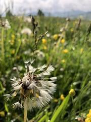 Tousled (Sibeal's world) Tags: dew morningdew rain flora tree meadow grass nature landscape wiese löwenzahn dandelion